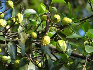 garcinia albero