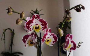 come-curare-le-orchidee